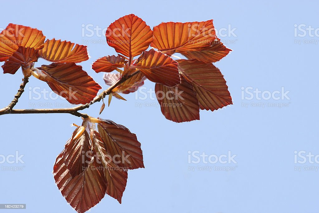 Fresh red beech leaves royalty-free stock photo