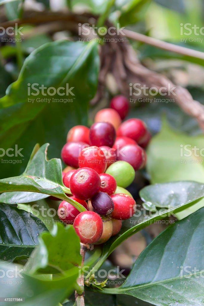 Fresh red coffee bean stock photo