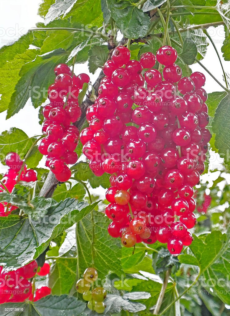 fresh red currants with green leaves stock photo