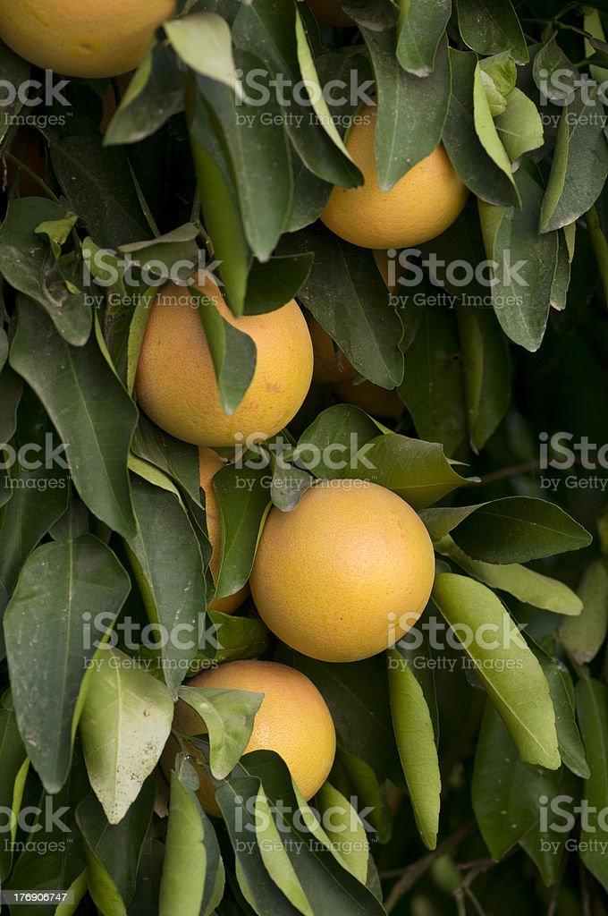 Fresh red grapefruit fruit on the tree royalty-free stock photo