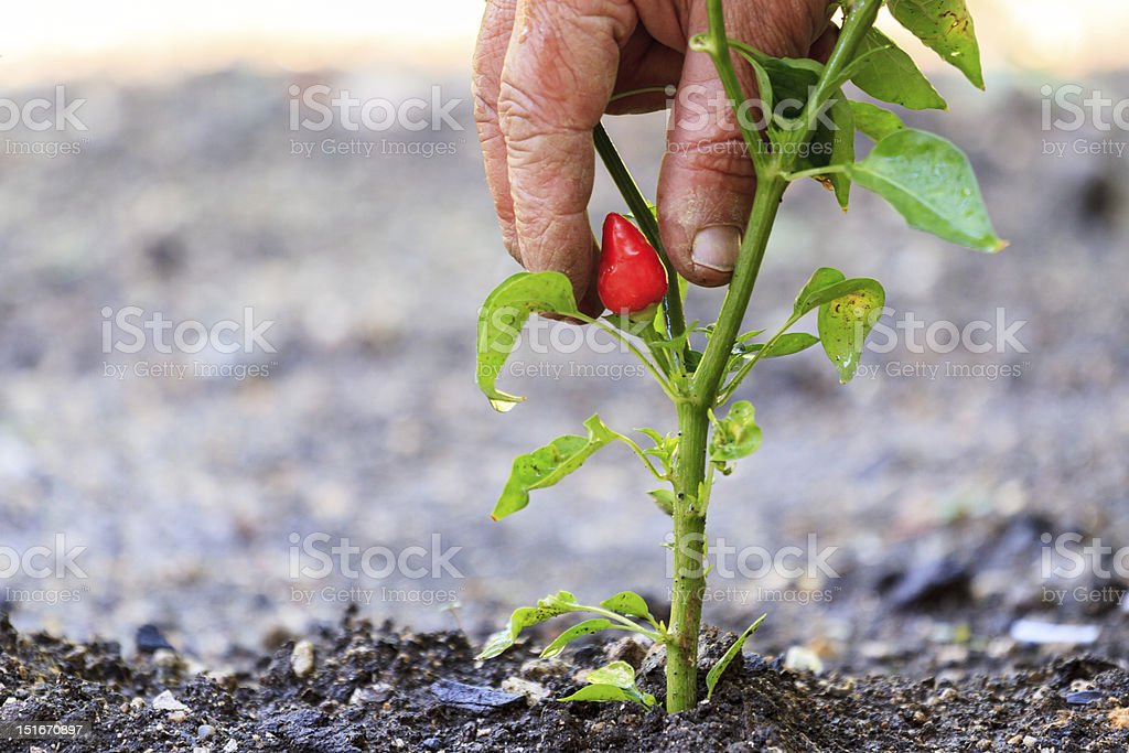 Fresh red pepper royalty-free stock photo
