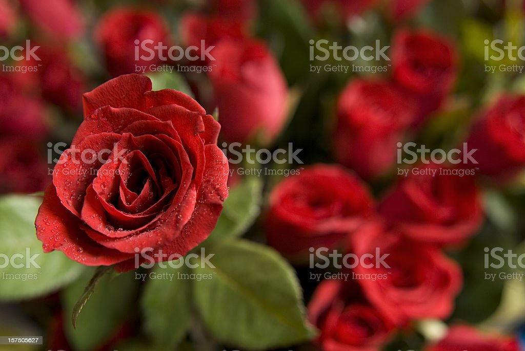 Fresh red roses background for Valentine stock photo