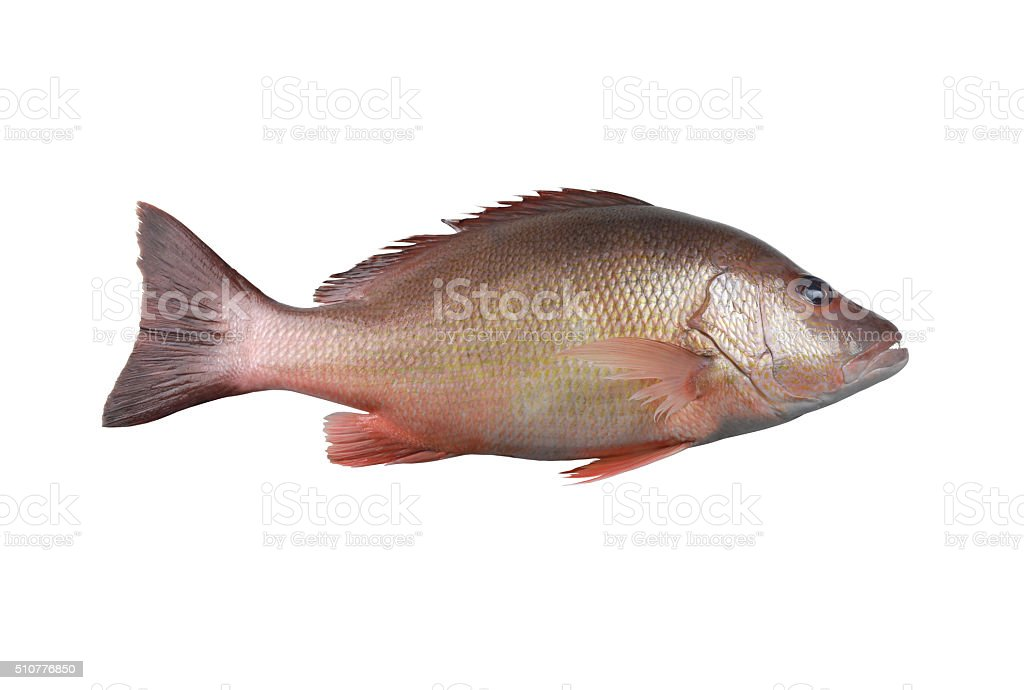 Fresh red Snapper fish or Lutjanus campechanusfish isolated on a stock photo