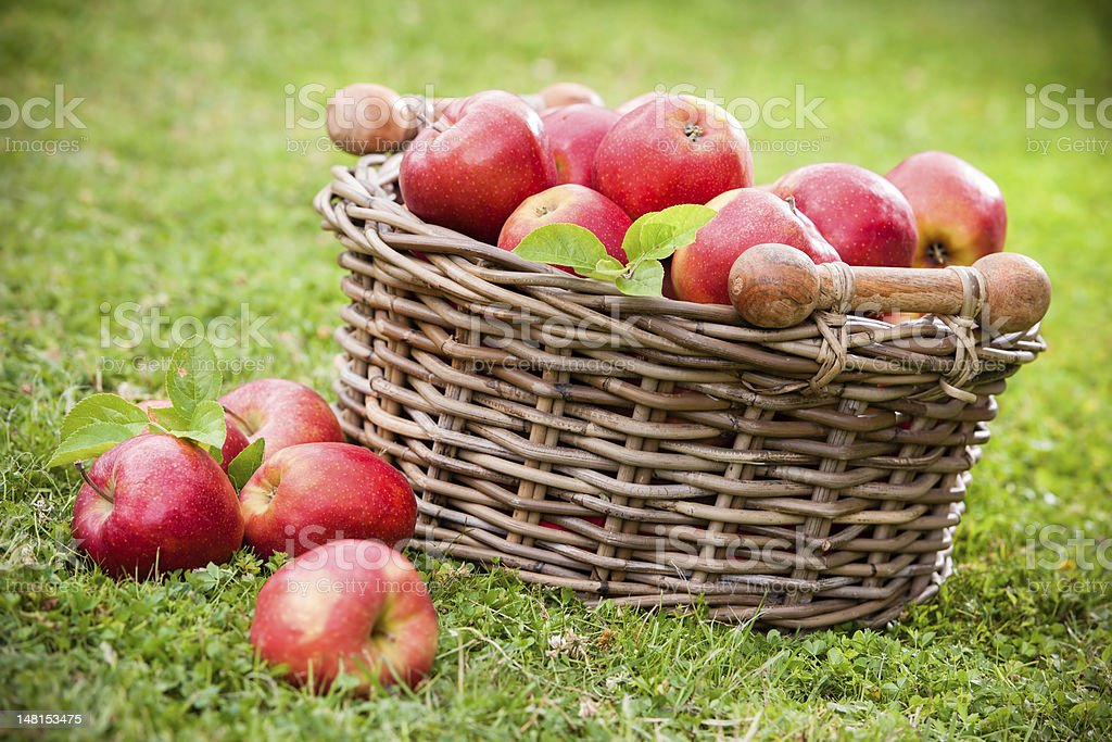Fresh ripe apples in basket royalty-free stock photo