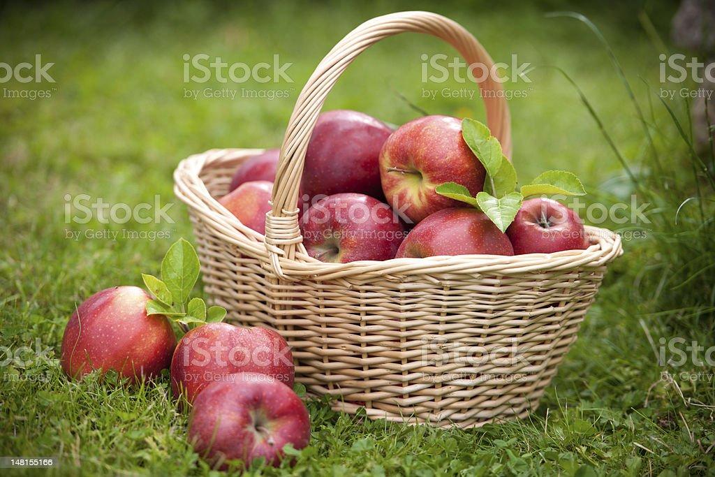 Fresh ripe apples in basket royalty-free stock photo