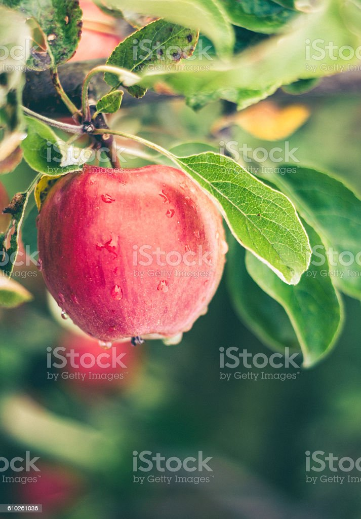 Fresh Ripe Apples on the Tree stock photo