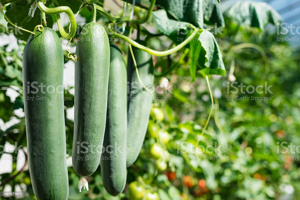 Fresh ripe cucumbers in a row stock photo