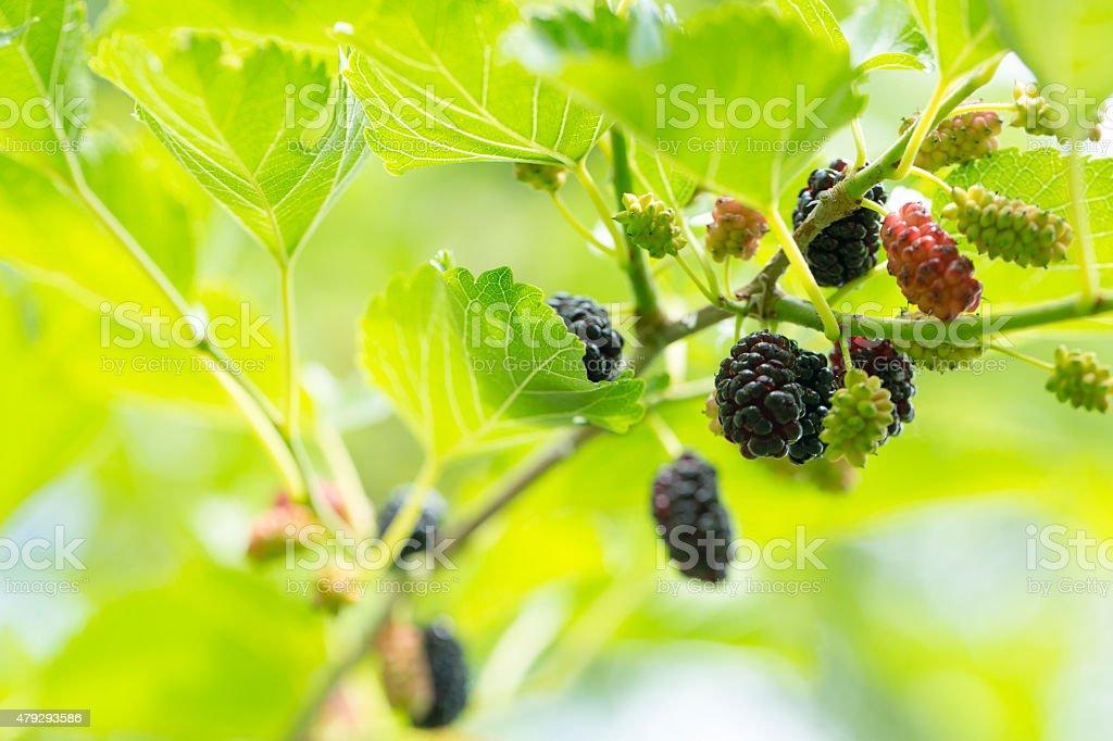 Fresh ripe mulberry stock photo