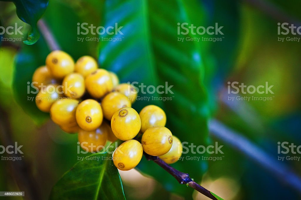 Fresh Ripe Raw Coffee Bean Ready for Harvest stock photo