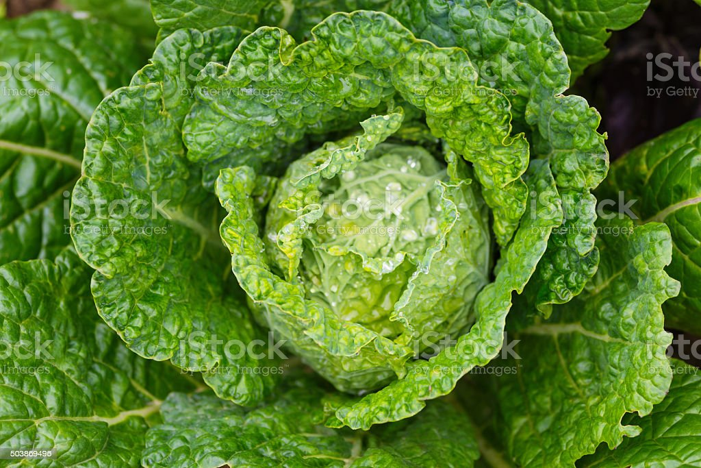Fresh ripe savoy cabbage with water drops stock photo