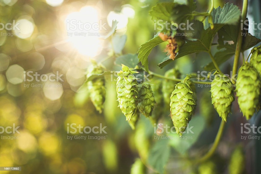 Fresh Ripe Summer Grown Hops for Beer Home Brewing stock photo