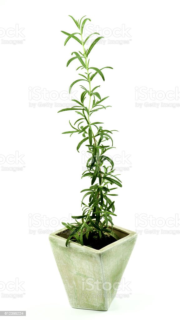 Fresh Rosemary in Pot stock photo