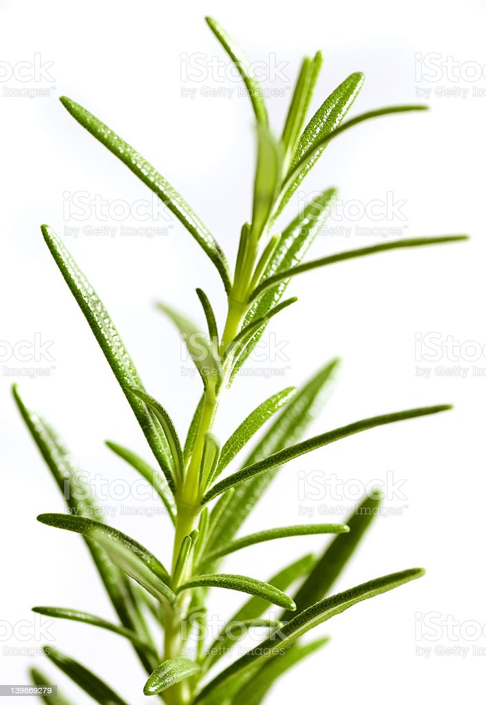Fresh rosemary royalty-free stock photo