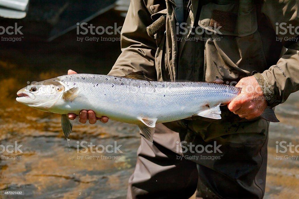 Fresh Run Spring Tweed Salmon stock photo