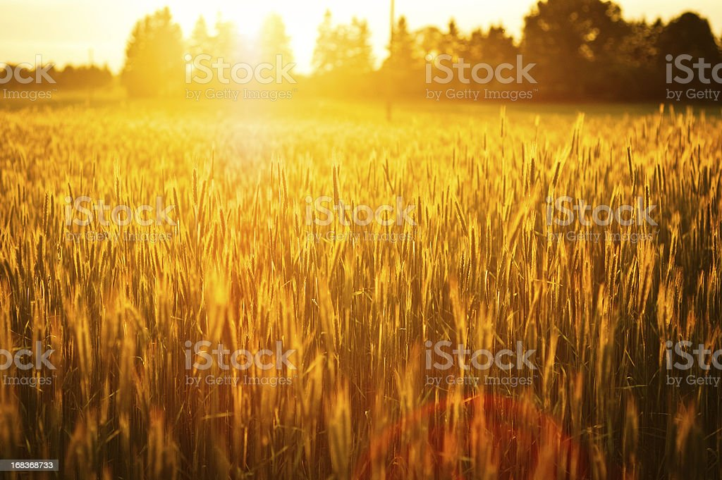 Fresh rye at sunset in front of a forest stock photo