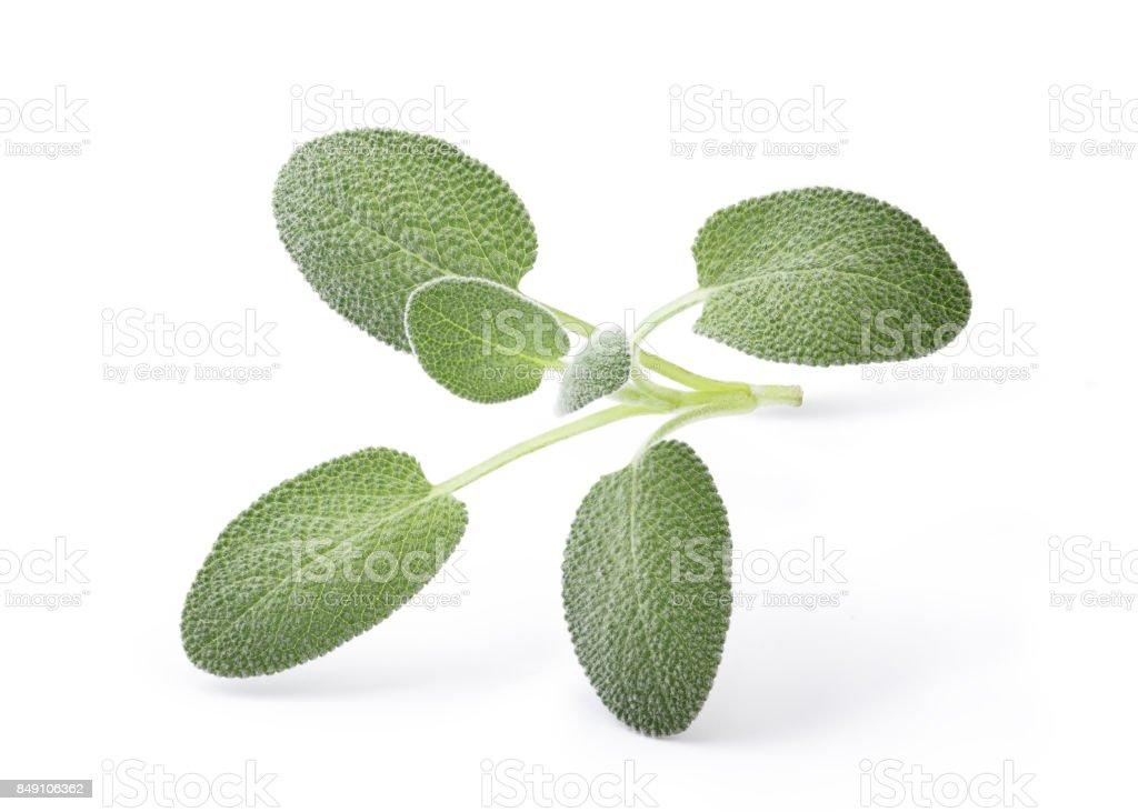 Fresh Sage stock photo