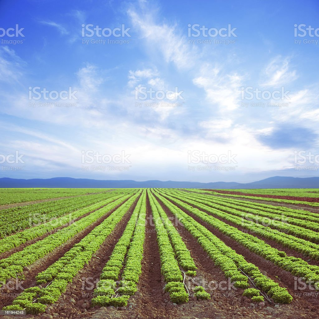 Fresh Salad (Green Field) royalty-free stock photo