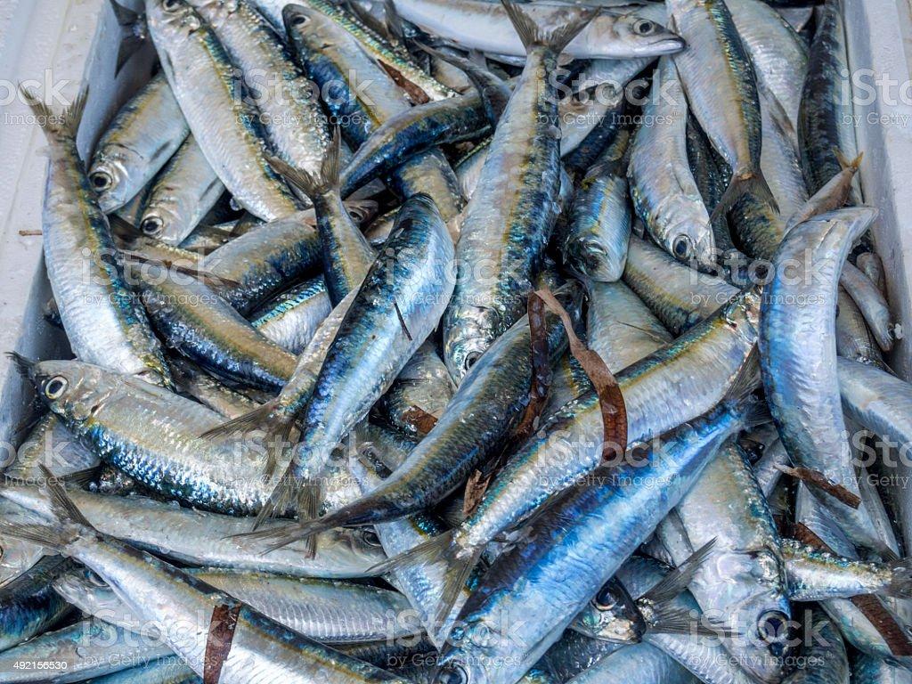Fresh sardines straight from the fishing boat stock photo