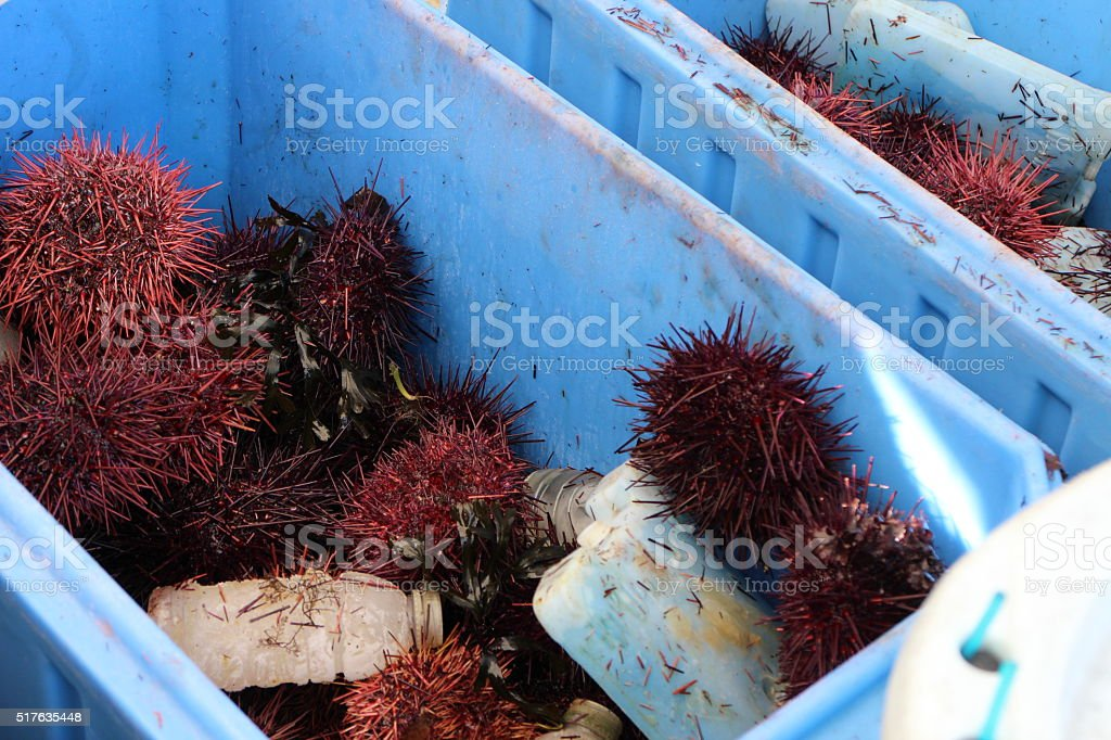 Fresh Sea urchin at fish market stock photo