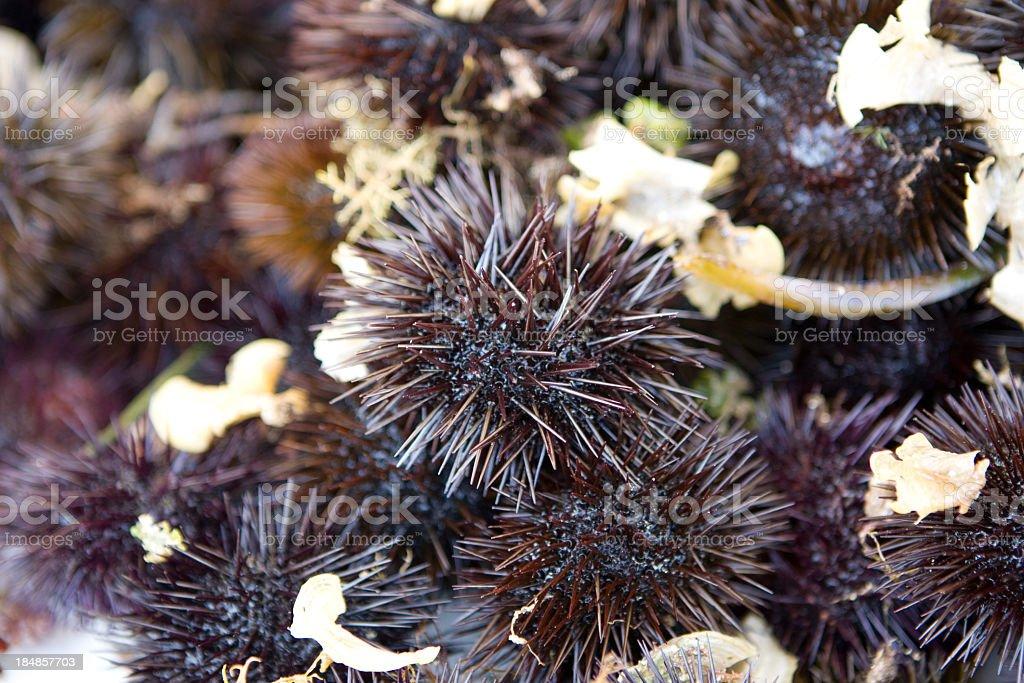 Fresh  sea urchins stock photo