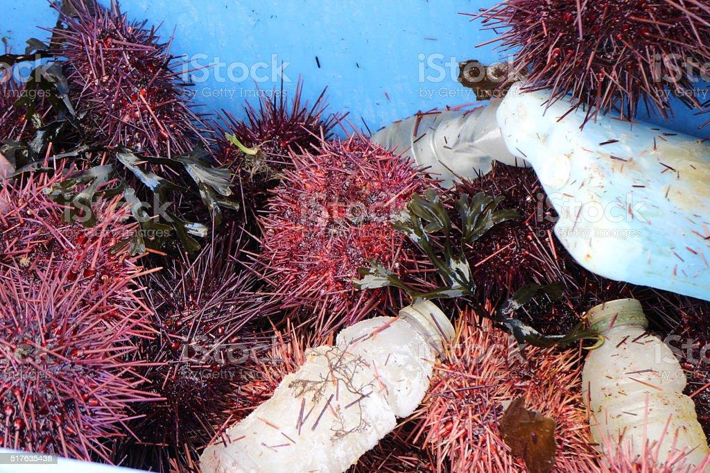 Fresh Seaurchins stock photo