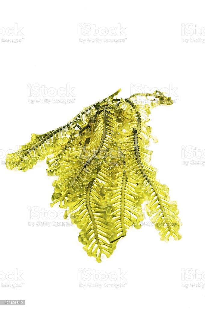 Fresh seaweed from the andaman sea royalty-free stock photo