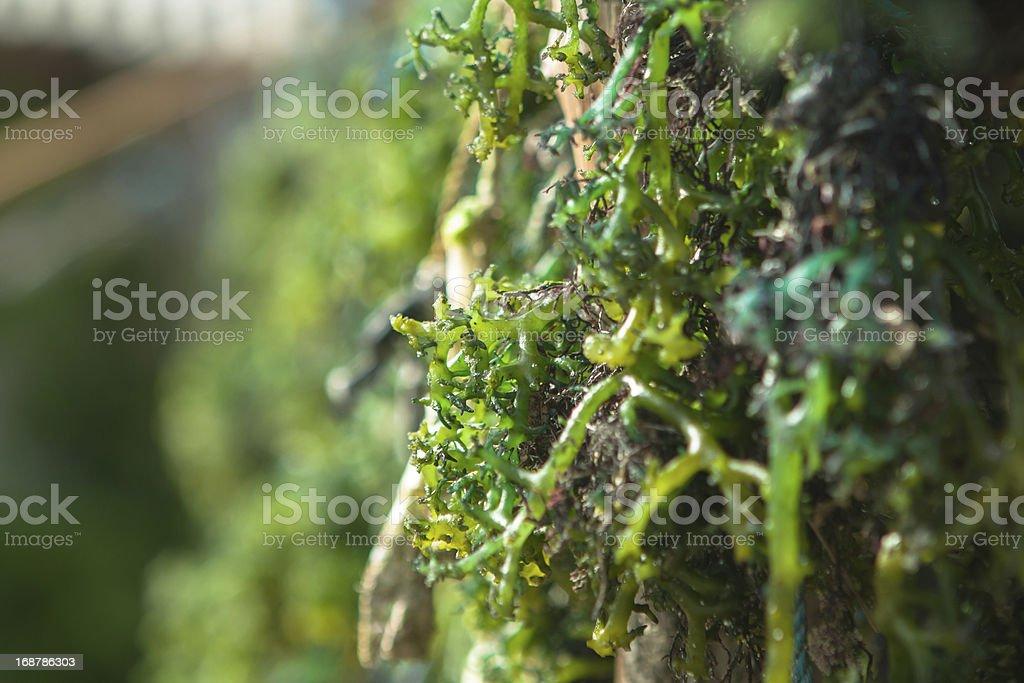 Fresh Seaweed stock photo