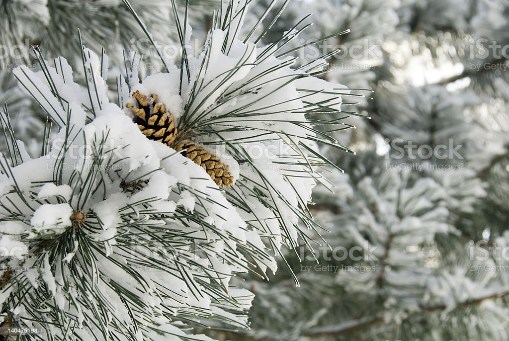 Fresh Snow on Branches with Pine Cones stock photo