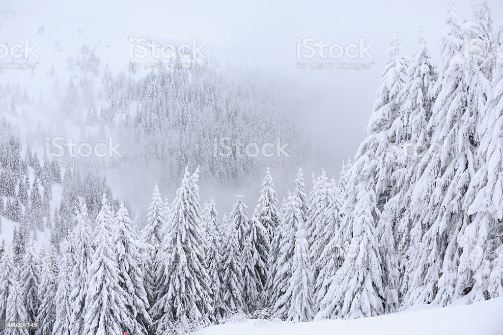 Fresh snow  Wintery coniferous forest snowy  tree  High mountain landscape stock photo