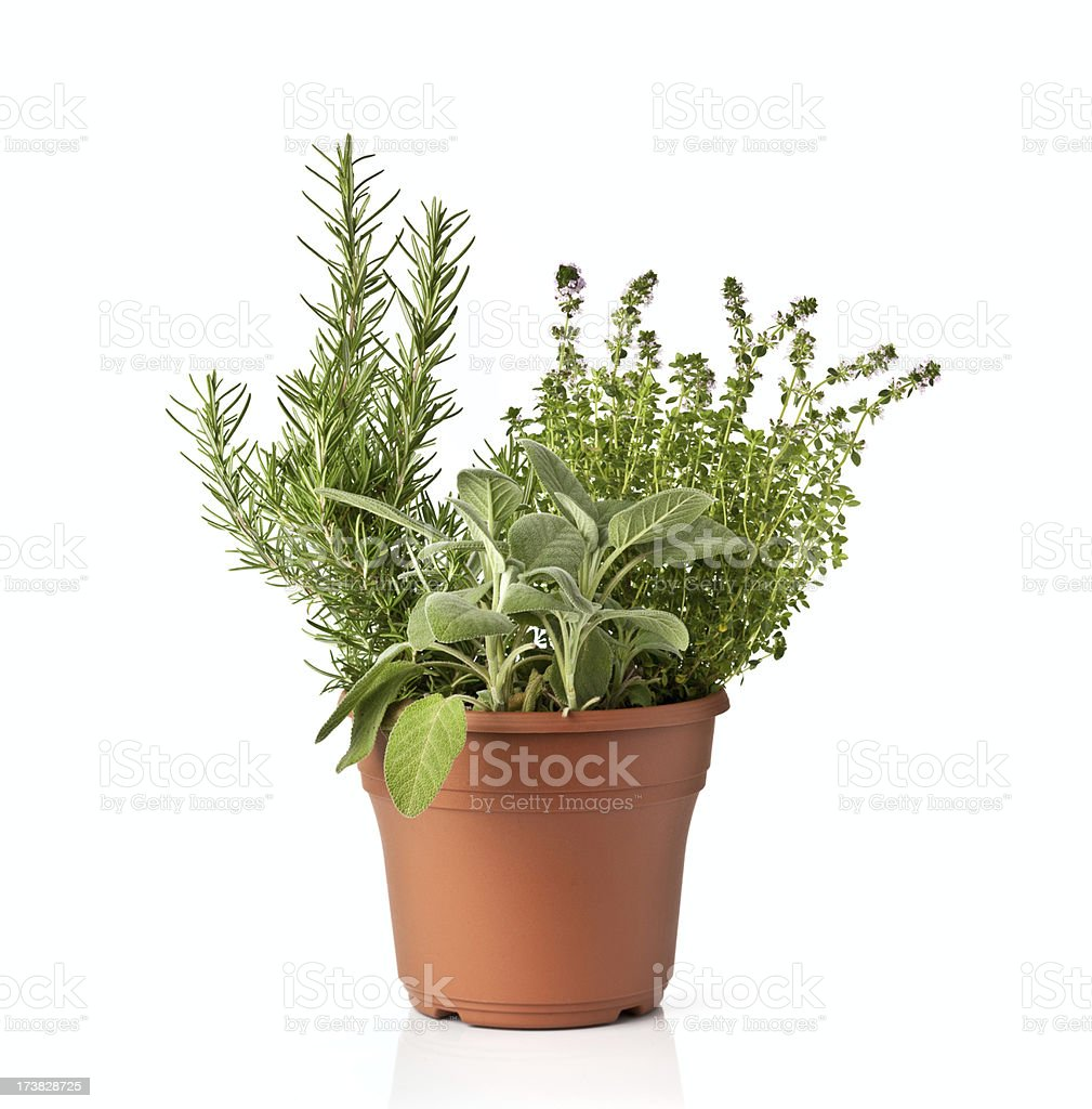 Fresh spicy green herb in a pot royalty-free stock photo