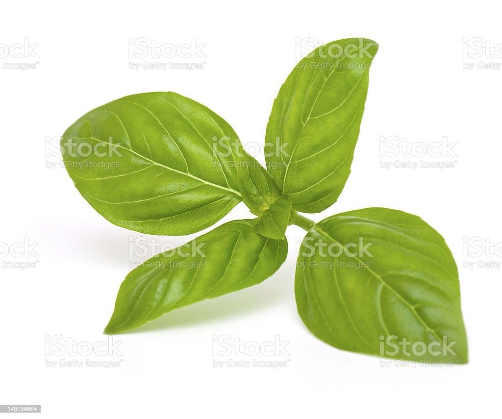 fresh sprig of basil stock photo