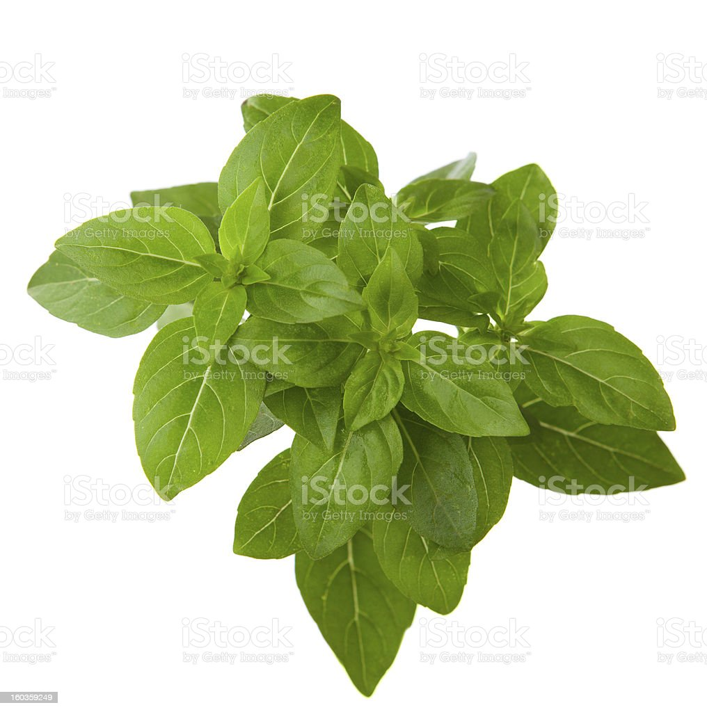 Fresh sprig of  basil royalty-free stock photo