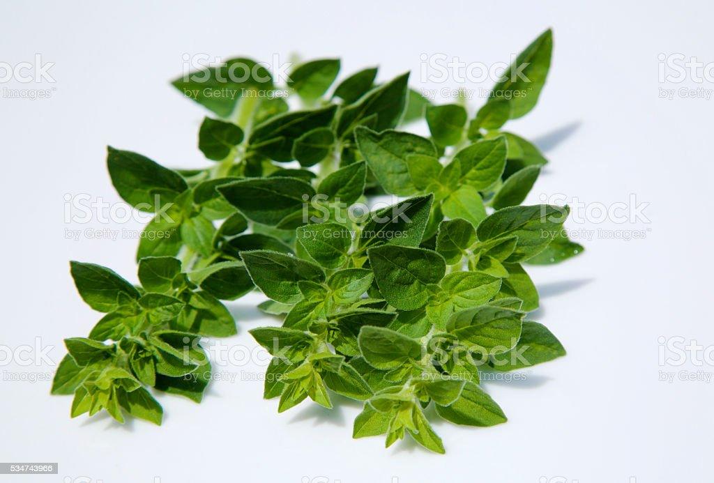 fresh sprigs of oregano stock photo