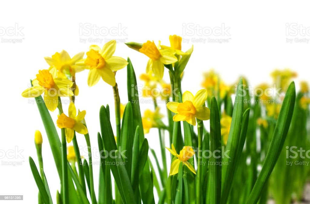 Fresh spring affodils stock photo