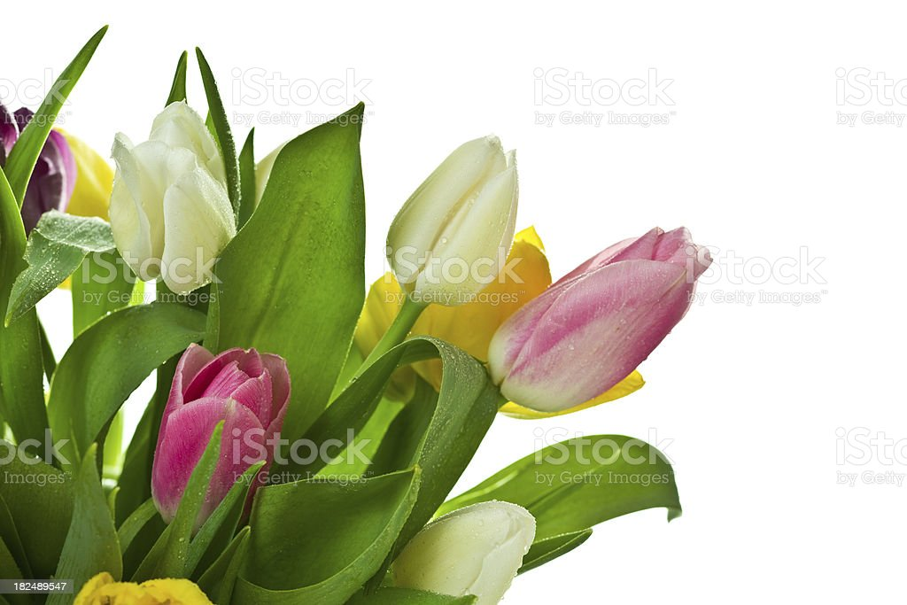 Fresh spring bouquet of tulips royalty-free stock photo