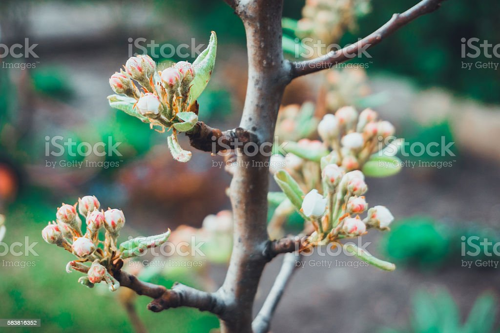 Fresh spring buds on a tree stock photo