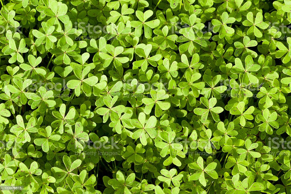 Fresh Spring Clover Background royalty-free stock photo