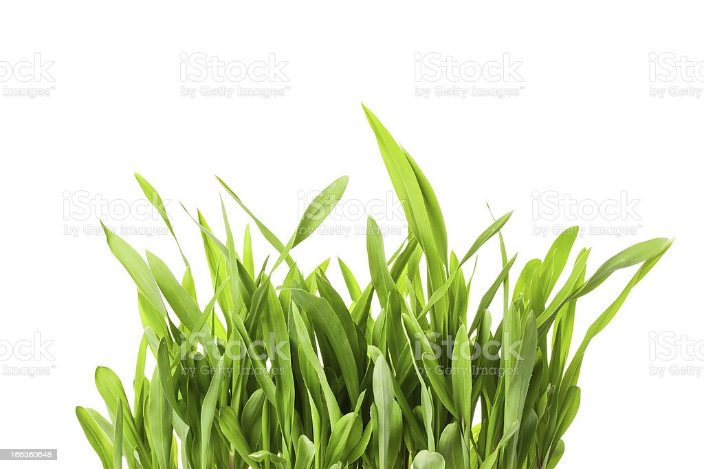 Fresh spring green grass isolated on white background royalty-free stock photo