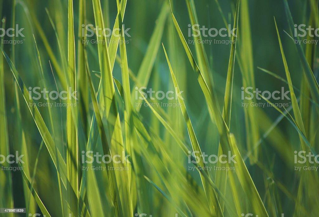 Fresh Spring Green Grass royalty-free stock photo