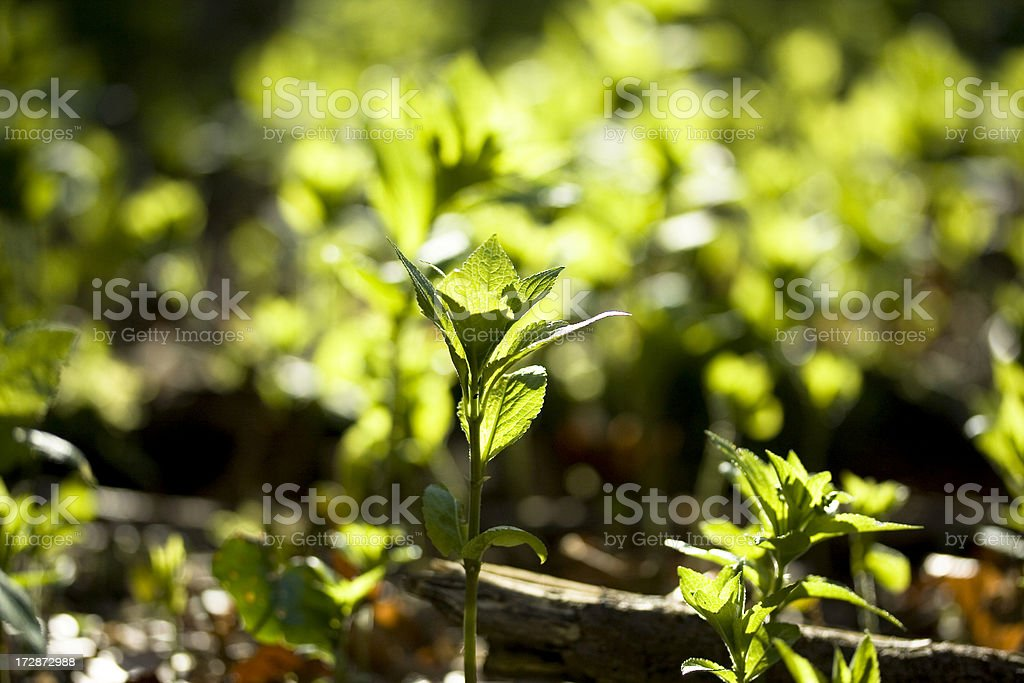 Fresh Spring Herb royalty-free stock photo