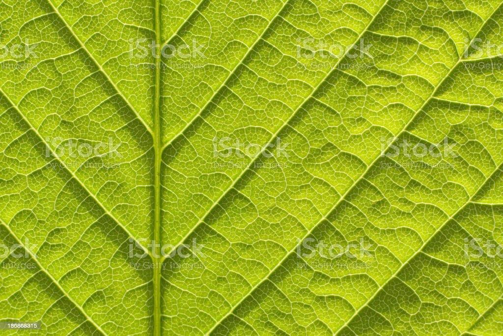 Fresh spring leaf royalty-free stock photo