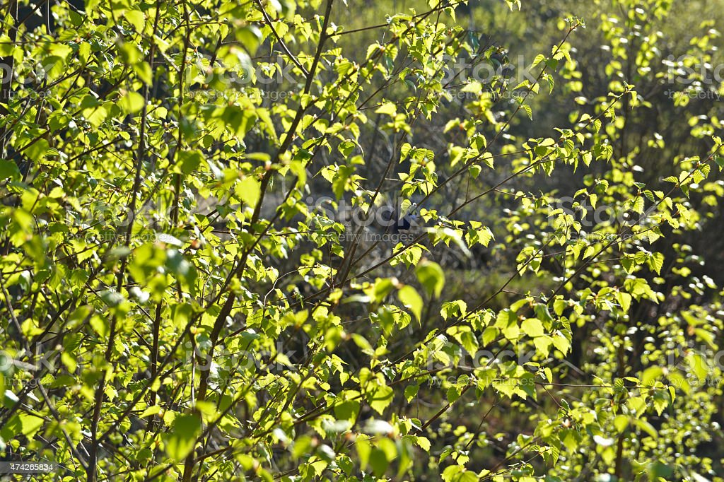 Fresh spring leaves of birch. stock photo