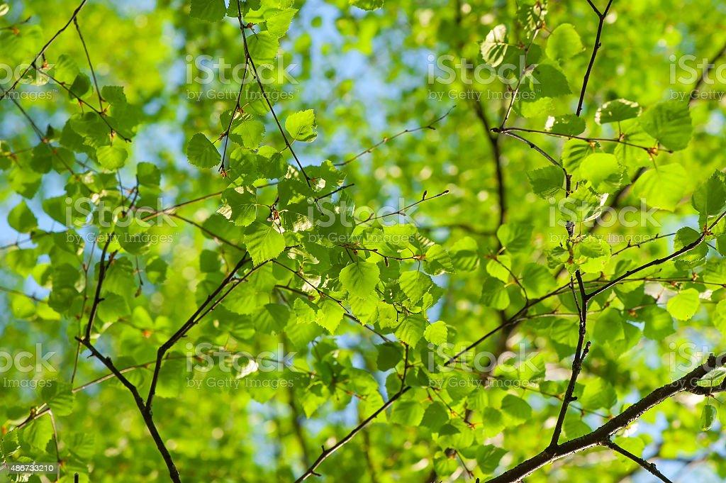 fresh spring leaves of birch stock photo