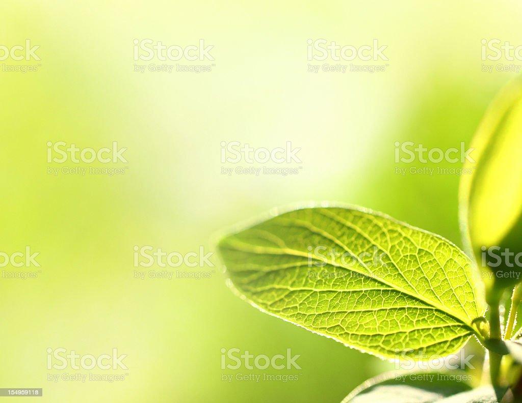 Fresh spring leaves. royalty-free stock photo