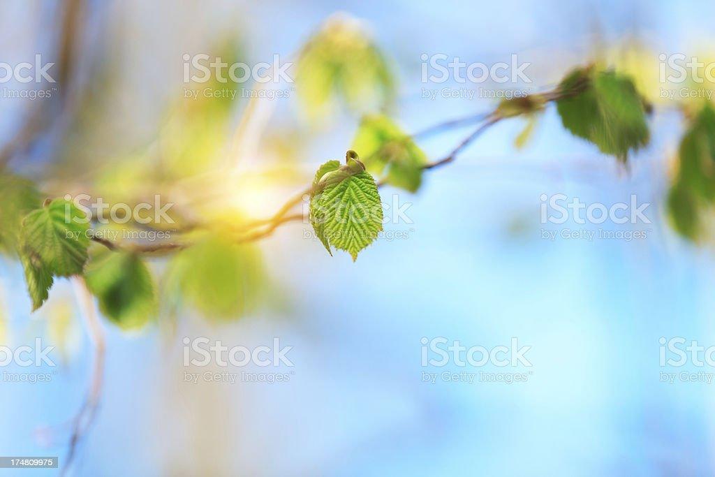 Fresh Spring Leaves royalty-free stock photo