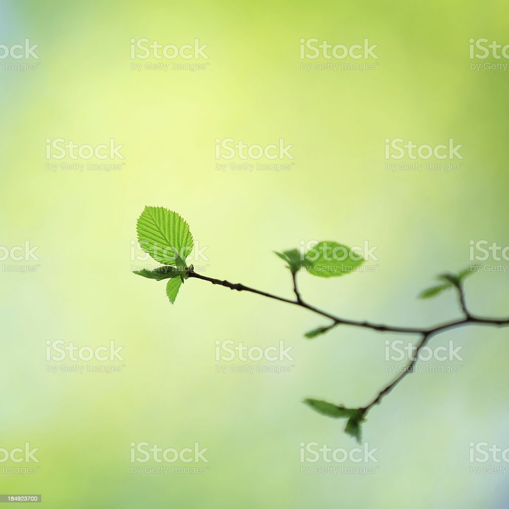 Fresh Spring Leaves royalty-free stock photo