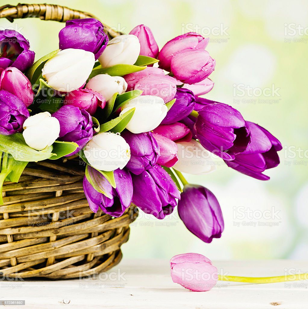 Fresh Spring Tulips in Basket royalty-free stock photo