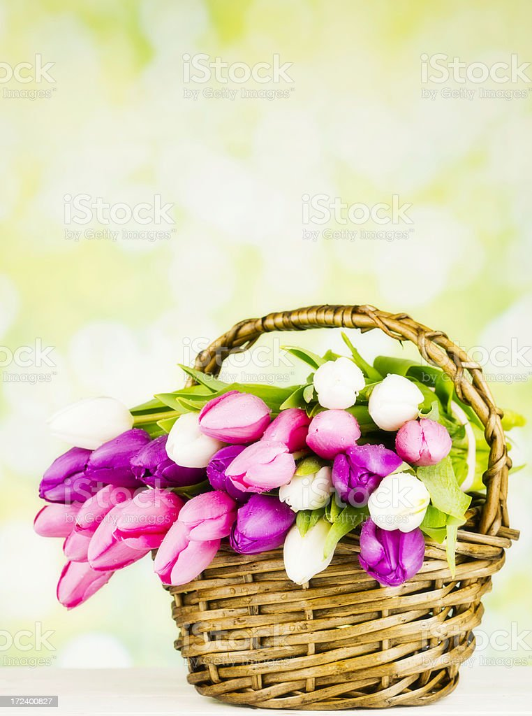 Fresh Spring Tulips in Basket royalty-free stock photo