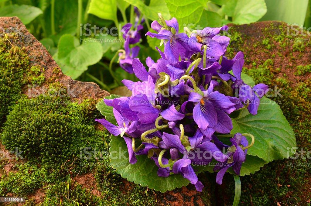 Fresh spring violets close up stock photo