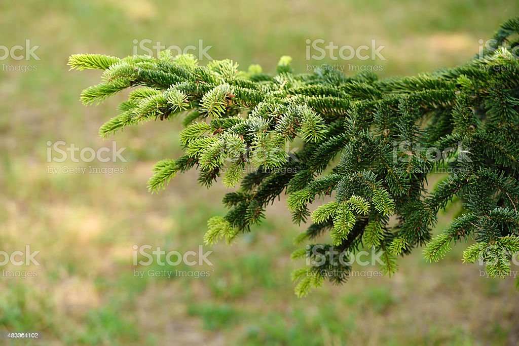 Fresh spruce branches, detail stock photo